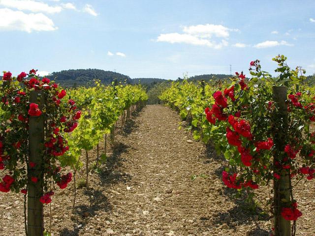 Vins i caves de l'Anoia, productes de qualitat en expansió