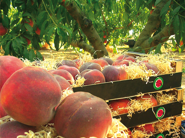 El Consell Comarcal de l'Anoia fomenta el consum de la fruita dolça del territori, un aliment de producció de qualitat